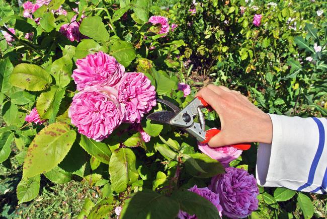 Rose adatte per lo sciroppo