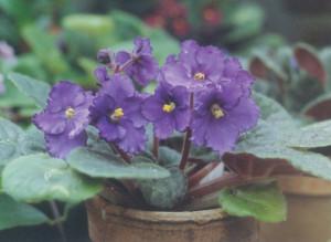 violette africane, violetta africana, saintpaullia, coltivare le violette africane, coltivare la saintpaulia, sanitpaullia